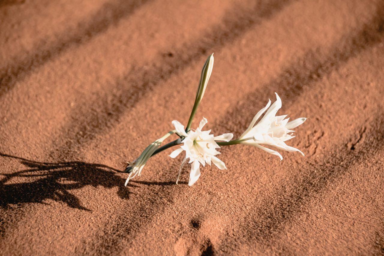Jordanien beste Reisezeit Blume in der Wüste