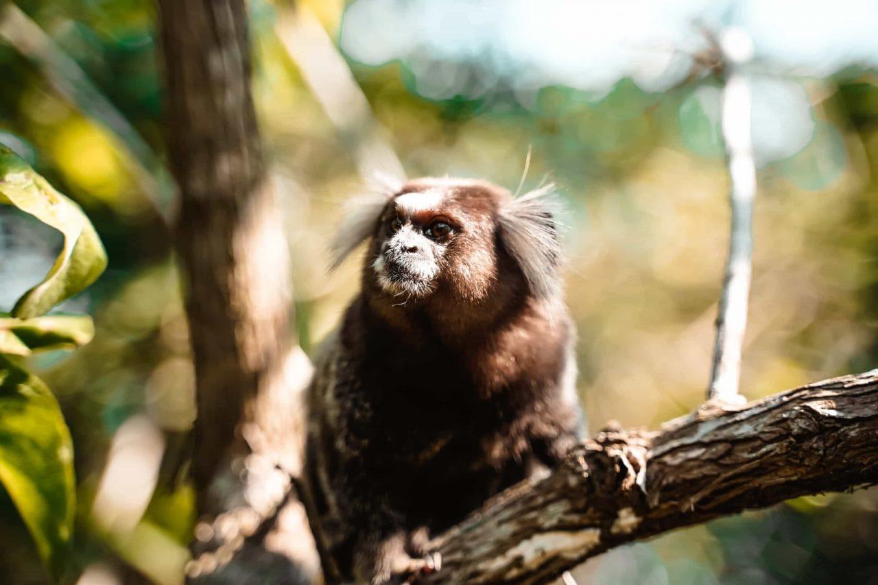 Tierwelt Brasilien Affe Rio de Janeiro