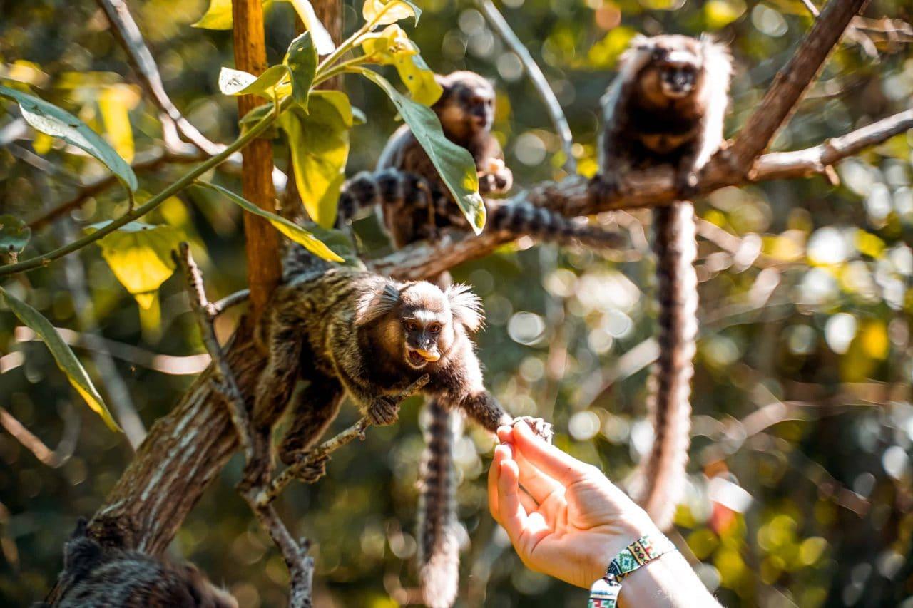 Tierwelt Brasilien Weissbüscheläffchen Rio de Janeiro