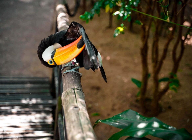 Tucan Brasilien Tierwelt