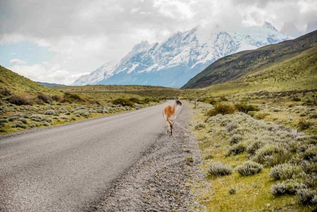Mietwagen Chile Patagonien Guanaco