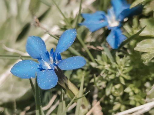 wanderung zum gaisalpsee frühlingsenzian allgäuer bergblumen