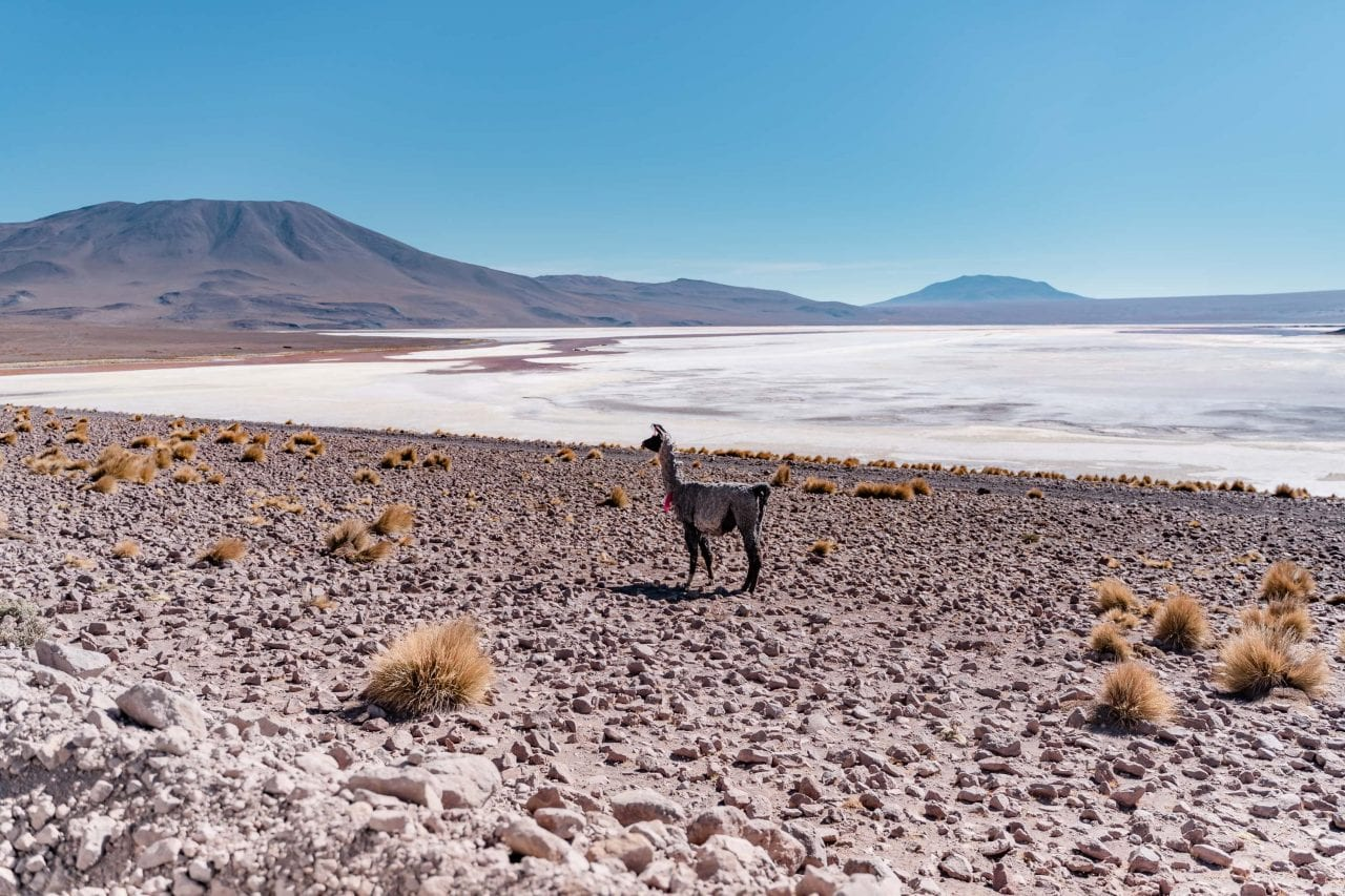 wildes lama hochland bolivien laguna colorada
